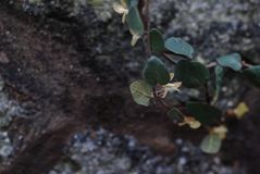 Wild rose seedlings on the rocks. ,The tenacious vitality Royalty Free Stock Photo