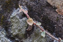 Wild rose seedlings on the rocks. ,The tenacious vitality Stock Photography