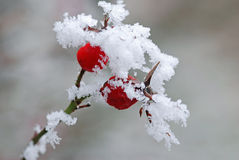 Wild rose with snow Stock Image
