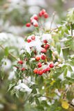 Wild rose in the snow Stock Images