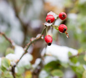 Wild rose in the snow Royalty Free Stock Images