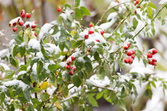 Wild rose in the snow Stock Photography