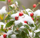 Wild rose in the snow Royalty Free Stock Photography