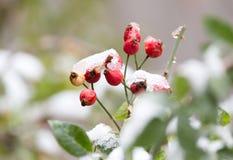 Wild rose in the snow Stock Photos