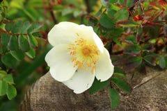 Wild Rose Royalty Free Stock Image