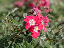 Wild rose in summer Stock Images