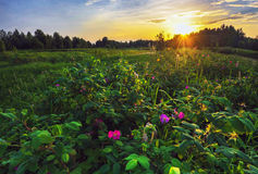 Wild rose at sunset Stock Images