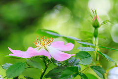 Wild Rose. Surrounded by blurred leaves Royalty Free Stock Photo