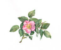 Wild rose watercolor painting Stock Images