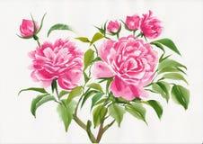 Wild rose watercolor Royalty Free Stock Photos