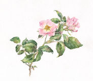 Wild rose watercolor painting stock illustration