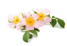 wild rose Royalty Free Stock Photos
