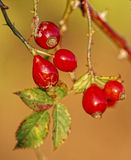 wild rosehibs Royaltyfria Foton