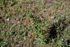 Wild Rosehip Plant in the Mountains stock photo