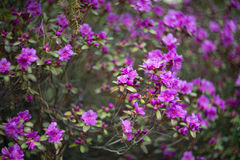 Wild rosemary blooming. Branch of a blossoming wild purple rosemary Royalty Free Stock Images