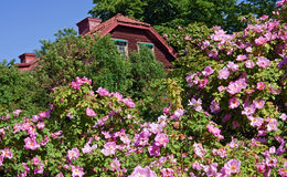 Among wild roses. The wooden old-fashion house among wild roses Stock Images