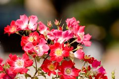 Wild roses. Red wild rose flowers background Stock Photo