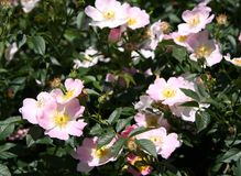 Wild roses background Royalty Free Stock Images