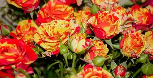 Wild roses bright red and yellow macro stock photo