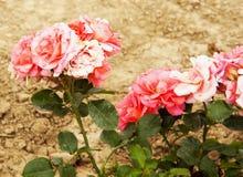 Wild roses Royalty Free Stock Photo