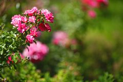 Wild roses Stock Images