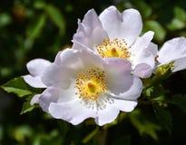 Wild Roses Royalty Free Stock Photos