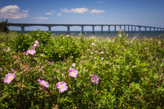Wild roses at Confederation Bridge Royalty Free Stock Photos