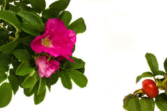 Wild roses frame Stock Photo