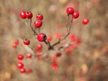 Wild roses fruits (briars) Royalty Free Stock Photo
