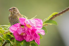 With wild roses Stock Image