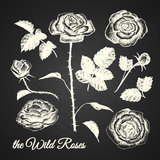 The wild roses illustration. Hand drawn illustration of flowers elements on chalkboard background Royalty Free Stock Images