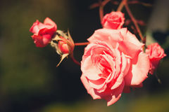 Wild roses. Photography of a red wild roses. Outdoor shot Stock Images