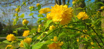 Wild roses. Photography of yellow wild rose tree Stock Images