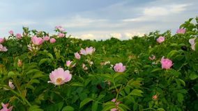 Wild roses. Pink wild roses blooming against blue skies on sunny day Stock Images