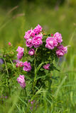 Wild Roses Royalty Free Stock Photography