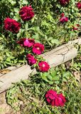 Wild Roses stock photos