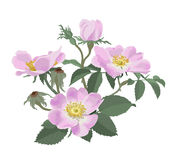 Wild roses (Rosa canina) Royalty Free Stock Photography
