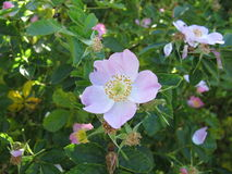 Wild roses Royalty Free Stock Photo