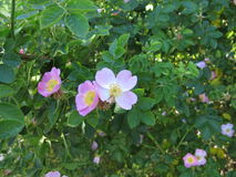Wild roses Royalty Free Stock Image