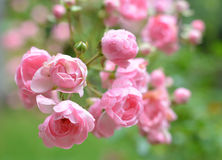 Wild roses. Small wild roses, often found in village yards and farms Stock Photo