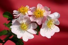 Wild roses Stock Photo