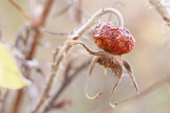 A wild rose fruit on autumn morning Royalty Free Stock Image