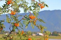 Wild Rowan Berry Clusters op Bush Royalty-vrije Stock Afbeelding