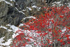 The wild rowan red berry tree Sorbus aucuparia. Against mountain background with new snow in the beginning of winter stock photos