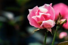Wild Roze Royalty-vrije Stock Afbeeldingen