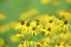 Wild Rudbeckia Stock Photography