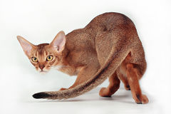 Wild ruddy abyssinian cat. Portrait of wild ruddy abyssinian cat stock photography