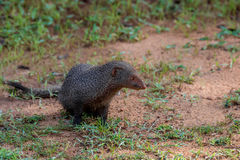 Wild ruddy mongoose Royalty Free Stock Photos