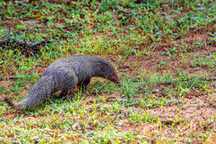Wild ruddy mongoose Royalty Free Stock Photo