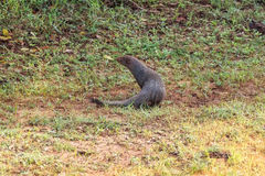 Wild ruddy mongoose Stock Images